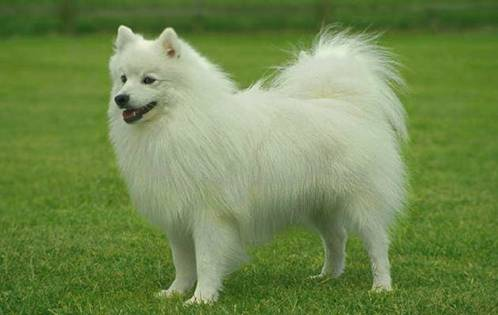 Eskimo Dog Breed
