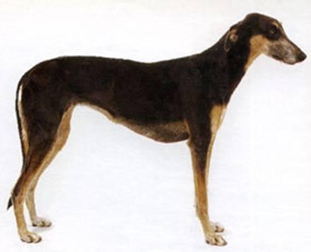 http://dog.adgth.ru/breed/chart_polski.files/image003.jpg