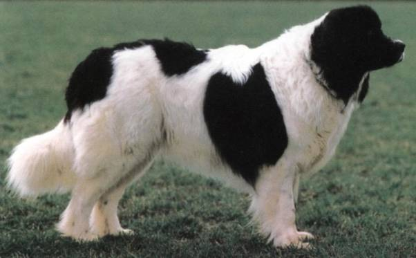 http://dog.adgth.ru/breed/landrees_newfoundland.files/image003.jpg