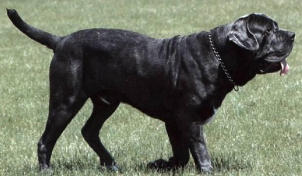 http://dog.adgth.ru/breed/mastino_napoletano.files/image003.jpg