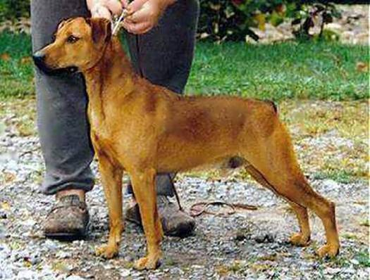 What Is A Cur Dog Breed