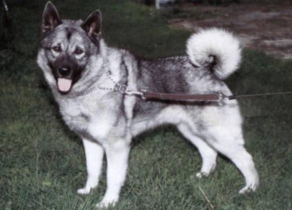 Собаки породы на букву н
